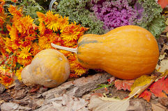 Two orange pumpkins, chrysanthemums and decorative cabbage Royalty Free Stock Image
