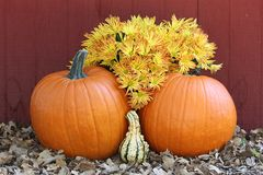 Two Orange Pumpkins with Fall Flowers. Two large orange pumpkins with yellow and red chrysanthemums and gourd, lying in fall leaves on dark red background stock photos