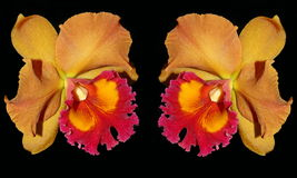 Two orange and red color cattaliya orchid Stock Image