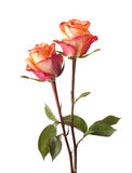 Two orange rose Royalty Free Stock Images