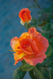 Two orange roses Stock Images