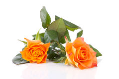 Two orange roses over white background Stock Photos