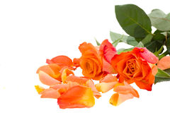 Two orange roses with petals Stock Photos