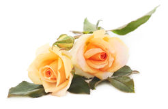 Two orange roses. Stock Images