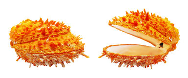 Two orange seashell Stock Images