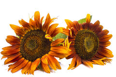 Two orange sunflower Stock Photography