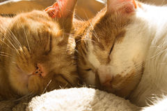 Two orange tabby cats sleeping with their heads together Royalty Free Stock Photos