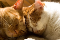 Two orange tabby cats sleeping with their heads together Stock Images