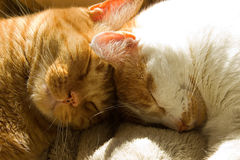 Two orange tabby cats sleeping with their heads together Royalty Free Stock Images
