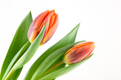 Two orange tulips stock photo