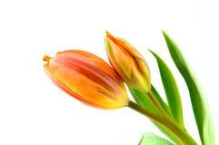 Two orange tulips Royalty Free Stock Photos