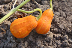 Two orange and yellow ornamental gourds Stock Photos