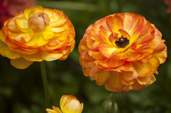Two orange zinnias with a bud. Royalty Free Stock Image