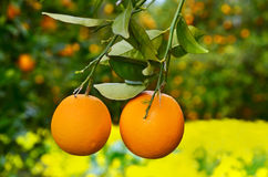 Two oranges on a tree Royalty Free Stock Photos