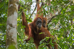 Two orangutan hiding among green leaves (Sumatra, Indonesia) Stock Photo