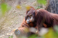 Two orangutans Royalty Free Stock Images
