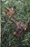 Two Orangutans hanging in trees Royalty Free Stock Photo
