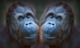 Two orangutans. Stock Photography