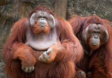 Two orangutan cute. stock photography