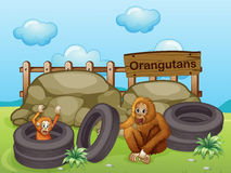 Two Orangutans near the big rocks Stock Image