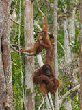 Two orangutans spend their time hanging on trees in the jungle of Indonesia Stock Image