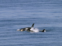 Two orca whales. Two whales from the San Juan resident orca pods coming to the surface for air royalty free stock photo