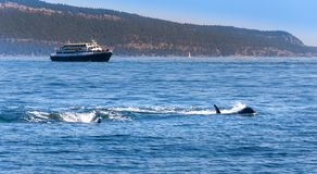 Two Orca whales near Vancouver Island, Canada. royalty free stock image