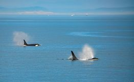 Pair of Orca Whales Spouting in Unison stock images