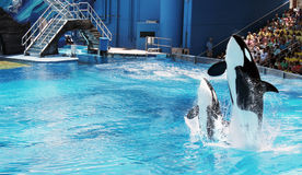 Two orcas (killer whale) jumping stock photos