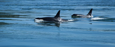 Two Orcas stock image