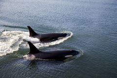 Two Orcas Swimming stock photography