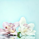 Two orchid flowers background Stock Photos