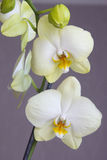 Two orchid flowers Royalty Free Stock Image
