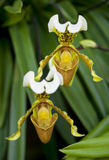 Two orchid flowers in a tropical forest Stock Images