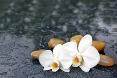 Two orchid flowers and white stones. Stock Image