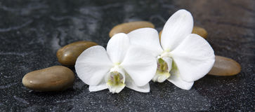 Two orchid flowers and white stones. Royalty Free Stock Photography