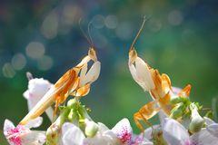 Two orchid mantis are facing over the flowers. Two orchid mantis are on the top of the flower Royalty Free Stock Images