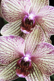 Two Orchids. Two very detailed pink and yellow orchids up close Royalty Free Stock Photo