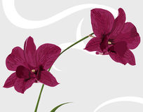 Two Orchids vector illustration