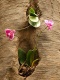 Two orchids. Growing in a cavity of a tree Stock Photography