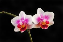 Two orchids against black. Two phalaenopsis, moth orchid flowers isolated against black stock image