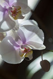 Two Orchids and a blossom Stock Image