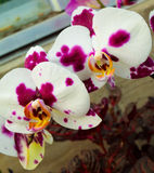 Two Orchids stock image
