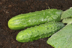 Two organic cucumbers Royalty Free Stock Photography