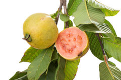 Two organic guavas, biological cultivated, in a tree branch. Isolated on white Stock Photos