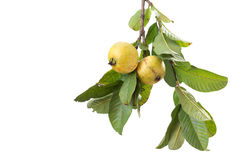 Two organic guavas, biological cultivated, in a tree branch. Isolated on white Royalty Free Stock Photo