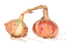 Two organic onions isolated on white. Studio shot of two organic onions extracted from ground Stock Photo