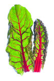 Two Organic Red Spinach Leaves royalty free stock photography
