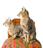 Two oriental cats sitting on chair. Two young grey oriental cat sitting on a beautiful eastern chair Royalty Free Stock Photos