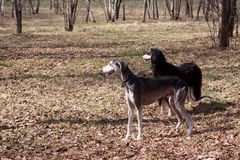 Two oriental hounds Royalty Free Stock Photography